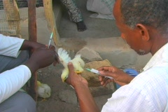 Stock Video Footage of Senegal Chickens Vaccination 4