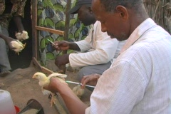 Stock Video Footage of Senegal Chickens Vaccination 2