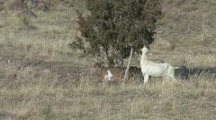 P00769 Goats Eating Shrub Stock Footage