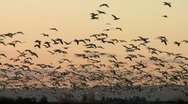 Stock Video Footage of many snow geese in flight