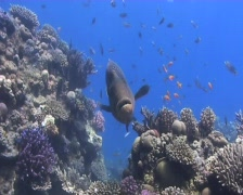 Napoleon wrasse approaches camera Stock Footage