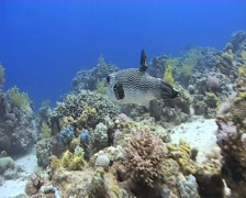 A Puffer fish swimming along a Coral reef Jackfish Alley 090501 Stock Footage