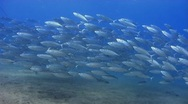 Stock Video Footage of A school of spanish mackerel in shallow water