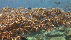 Camera swims around a huge staghorn coral with lots of Blue Chromis Dampselfish Stock Footage