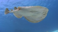 Stock Video Footage of Torpedo ray - Electric ray - Underside view