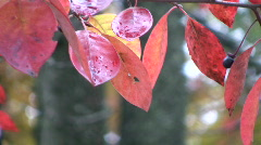 Red fall leaves and a berry Stock Footage