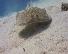 CLose up - Torpedo ray swimming over a sanday bay Stock Footage