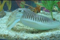 Cuttlefish Stock Footage