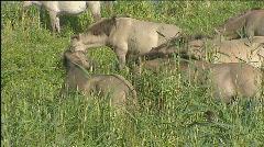 Konik wild horses in reedland wetland 506004 041416 Stock Footage