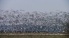 Many snow geese in flight Stock Footage