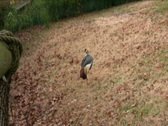 African Crowned Crane Stock Footage