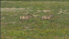 Konik wild horses playing running in river forelands 506004 041701 Stock Footage