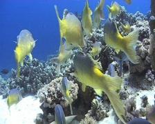 POV - Yellow saddle Goat fish hunting Stock Footage