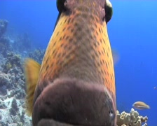 Titan trigger fish Stock Footage