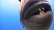 Stock Video Footage of Titan trigger fish