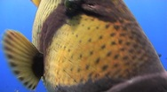 Stock Video Footage of Titan trigger fish - close up - touching lens