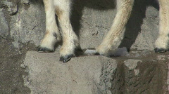 P00778 Dall Sheep Feet and Kid - stock footage