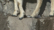 P00778 Dall Sheep Feet and Kid Stock Footage