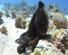 Reef Octopus foraging for food Stock Footage
