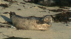 Wild Seal Stretching Stock Footage