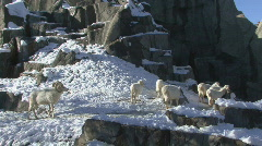 P00781 Dall Sheep Herd Stock Footage