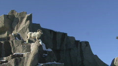 P00782 Dall Sheep Ram on Rocks Stock Footage