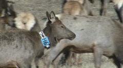 P00783 Radio-collared Elk Stock Footage