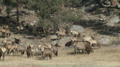 P00784 Pan of Elk Herd Stock Footage