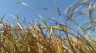 Reed on Wind Stock Footage