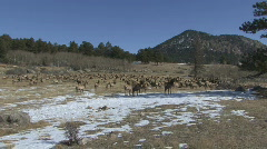 P00791 Elk Herd at Rocky Mountain National Park Stock Footage