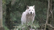 Single Gray Wolf looks at camera 3a Stock Footage