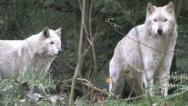Stock Video Footage of Gray Wolves Together 2b