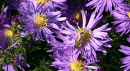 Stock Video Footage of Aster and bee
