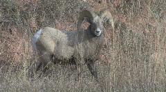 P00805 Bighorn Sheep Ram Full Curl Stock Footage