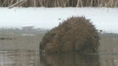 P00809 Muskrat on Ice - stock footage