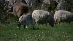 Goat kid and lamb on pasture Stock Footage