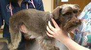 Stock Video Footage of Chocolate Schnauzer at the Vets