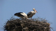 Stock Video Footage of Storks on nest