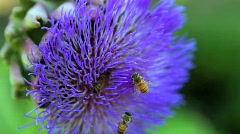 Bee pollination artichoke blossom 5 Stock Footage