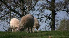 Three white sheep on spring graze Stock Footage