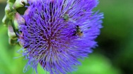 Stock Video Footage of Bee pollination artichoke blossom 6