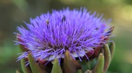 Stock Video Footage of Bee pollination artichoke blossom 10