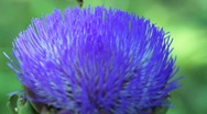Stock Video Footage of Bee pollination artichoke blossom 9