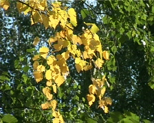Yellow leaves Stock Footage