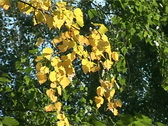 Stock Video Footage of yellow leaves