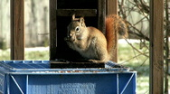Stock Video Footage of Red Squirrel 03