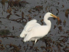 Great egret with fish flies out of frame Stock Footage