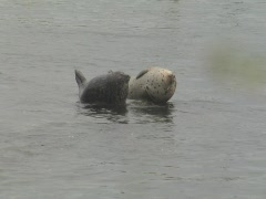 Two young harbor seals watch as a sea otter swims by Stock Footage