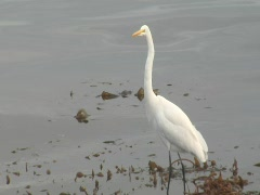 Great egret flies out of frame Stock Footage