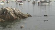 Wide shot of harbor seals resting on rocks in Monterey Bay Stock Footage